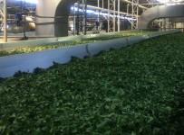 Çay Fabrikası
